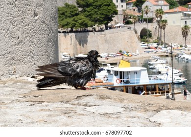 A wet pigeon on the walls of the city of Dubrovnik