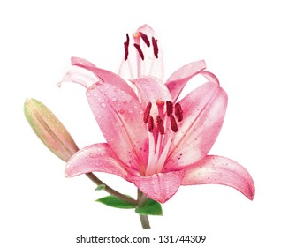 Wet pink lilly flower isolated on white