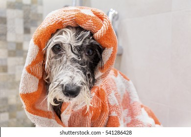 wet poodle dog after the bath with a green towel