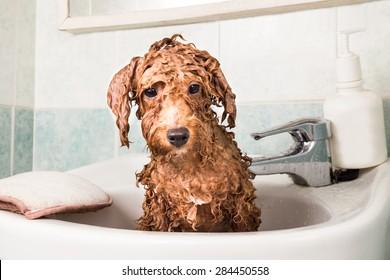 Wet poodle puppy taking bath on basin
