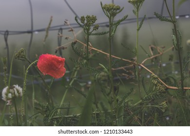 Wet Red Poppy in rain, conceptual image