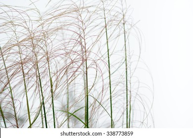 Wet reed grass closeup on foggy morning