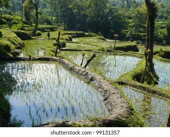 Wet rice terraces in Indonesia.