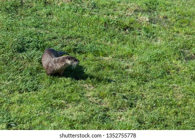 A wet river otter in the spring green grass walking in the sunshine.