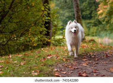 Wet Samoyed Dog on the grass. Autumn Maple Leaves in Background.