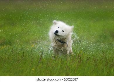 wet samoyed dog shaking off
