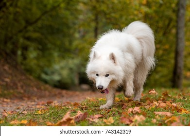 Wet Samoyed Dog Walks on the grass. Autumn Maple Leaves in Background.