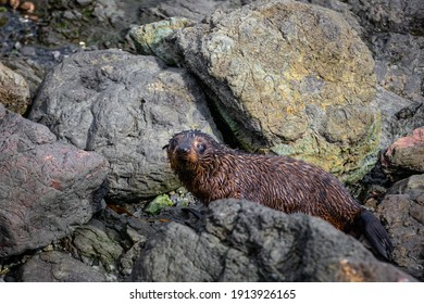 A wet sealion on a rock in Kaikoura, New Zealand