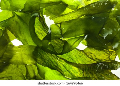 wet seaweed kelp ( laminaria ) surface close up macro shot texture background