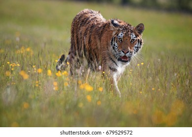 Wet Siberian tiger, Panthera tigris altaica, low angle photo, tiger in a colorful, blooming spring meadow from direct view.  Close up tiger in natural taiga environment, keeping eye contact.