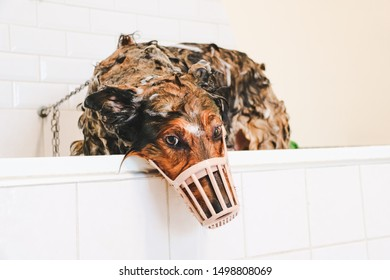wet soapy sad collie dog in a white bathtub for grooming