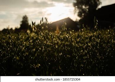 Wet stalks of oats at sunset