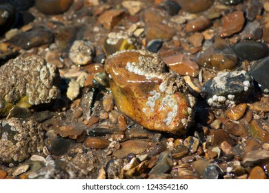 Wet stones covered in molluscs on a shingle beach