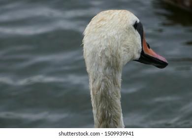 Wet swan head from behind.