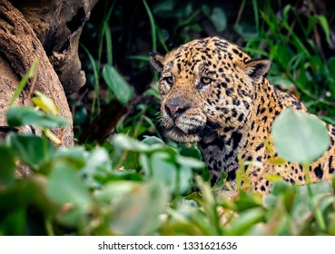 Wet from swimming, a jaguar looks for his prey