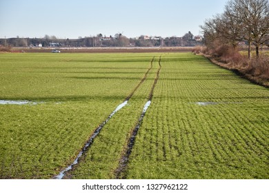 Wet tractor tracks in a green corn field at the swedish island Oland