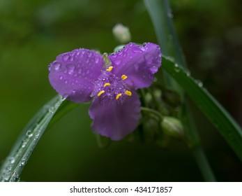 Wet Tradescantia reflexa In the rain