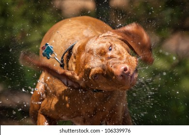 A wet Vizsla dog shakes the water off its coat.