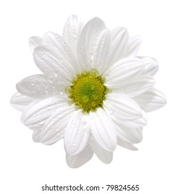 Wet white daisy, isolated on white, with clipping path