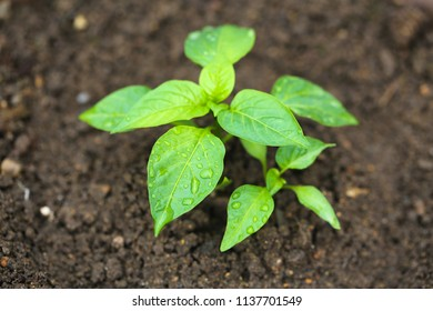 Wet young plant with dark soil background.