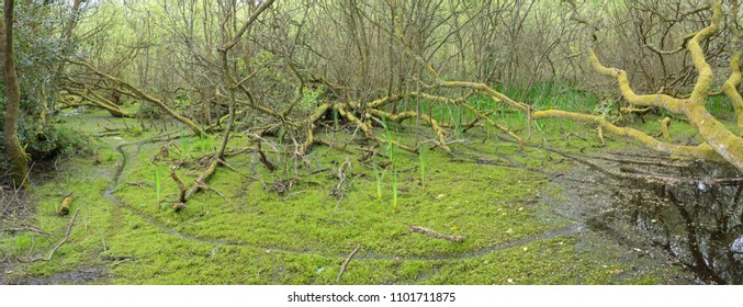 Wetland alder swamp in Cornwall, UK. Carpeted in green with invasive New Zealand Pygmy Weed (Crassula helmsii).