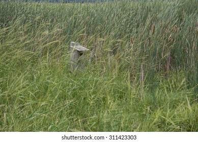 In a wetland hidden behind thick growth of wild rice (Zizania sp.), and important water fowl food, is a wood duck nesting box.