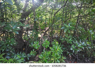 Wetland Mangroves Forest in Asia.