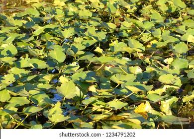 Wetland vegetation background from central Florida
