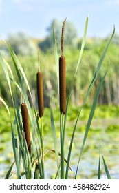 wetland-plant Typha latifolia, the Broadleaf cattail - from the cattail family Typhaceae
