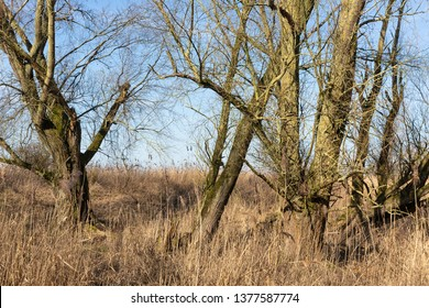 Wetlands of Dutch National Park Oostvaardersplassen with bare trees in early spring