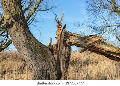 Wetlands of Dutch National Park Oostvaardersplassen with broken trees in early spring