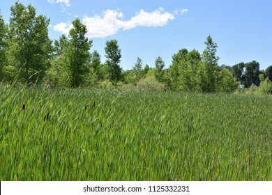 Wetlands meadow with trees and cattails