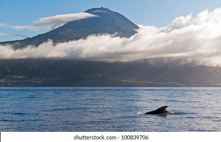 Whale Azores with mountain Pico in the background