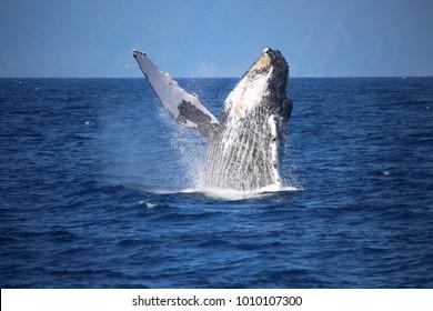 Whale breach, Maui