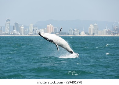 whale breaching in front of city skyline