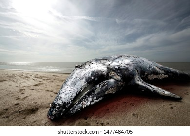 whale dead on the beach, climate change concept, global warming