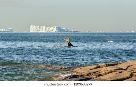 Whale dive near of village Oqaatsut among icebergs from the Jakobshavn glacier. The source of icebergs is a global warming and catastrophic thawing of ice, Disko Bay, West Greenland