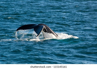 Whale diving into the depth of the ocean