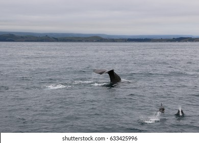 Whale and dolphins together. Whale watching in Kaikoura, New Zealand