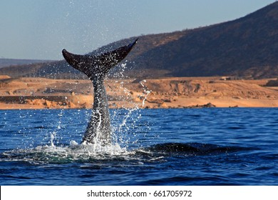 Whale Fluke splashing in the Sea of Cortes in Cabo San Lucas Mexico