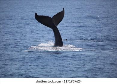 Whale Fluke In The Wild