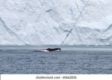 Whale in front of an iceberg in the famous icefjord of Ilulissat, Greenland. The icefjord is on UNESCO's World Heritage List.