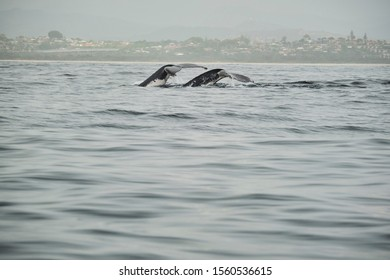 Whale head lunging and feeding with talk and peck fins up teaching calf how to feed and mouth open