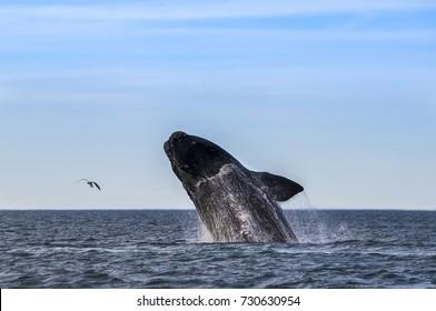 Whale Jump, Patagonia