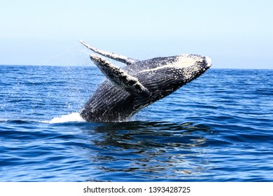 Whale jumping in the blue ocean