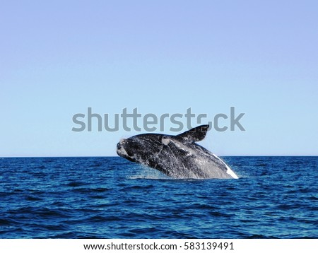 Whale Jumping Cold Waters Puerto Madryn Stock Photo (Edit