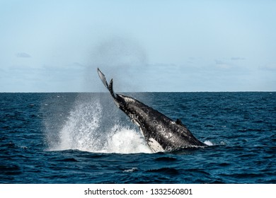 Whale migrating south tail slapping off the coast of Australia