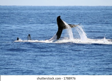 Whale playing on it's back, with tail out