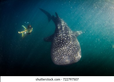 Whale shark in bad visibility, full of plankton. Giant. Panama, Coiba Island, Central America.