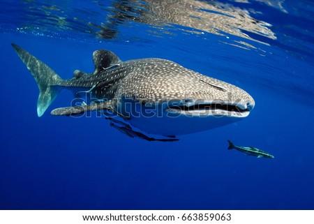 Whale shark is a